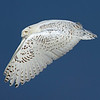 "This photograph of a flying Snowy Owl was captured within the Assateague Island National Seashore, MD (1/15).  <FONT COLOR=""RED""><h5>This photograph is protected by the U.S. Copyright Laws and shall not to be downloaded or reproduced by any means without the formal written permission of Ken Conger Photography.<FONT COLOR=""RED""></h5>"