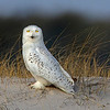 "This photograph of a Snowy Owl was captured within the Assateague Island National Seashore, MD (1/15).  <FONT COLOR=""RED""><h5>This photograph is protected by the U.S. Copyright Laws and shall not to be downloaded or reproduced by any means without the formal written permission of Ken Conger Photography.<FONT COLOR=""RED""></h5>"