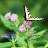 Pipevine and Tiger Swallowtails on Swamp Milkweed