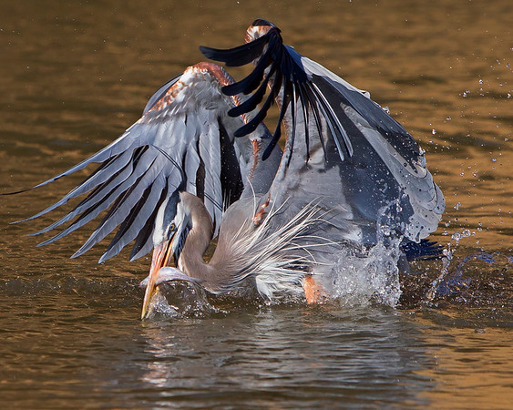 This photograph of a Blue Heron was captured within the James River in Virginia (3/13).   This photograph is protected by the U.S. Copyright Laws and shall not to be downloaded or reproduced by any means without the formal written permission of Ken Conger Photography.