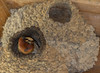Cliff Swallow duplex. The dark mud is fresh and means the nest is still under construction.