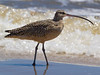 Long-billed Curlew on the Bolivar Peninsula.