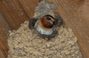 Cliff Swallow at Anahuac NWR shelter.