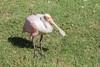 Roseate Spoonbill, Platalea ajaja, at Honolulu Zoo, Oahu, Hawaii