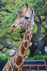 Reticulated giraffe, Giraffa camelopardalis reticulata, at Honolulu Zoo, Oahu, Hawaii