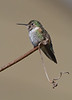 Broad-tailed Hummingbird in Cape May