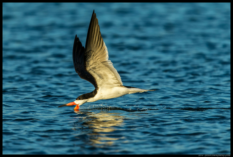Black Skimmer looking for dinner at the mouth of the Tijuana River.
