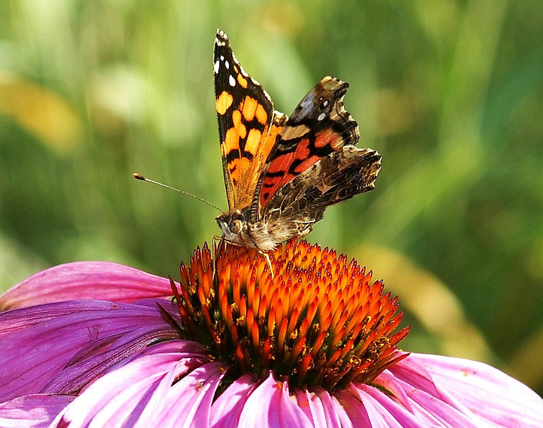 Painted Lady Butterfly on Cone Flower Southern California