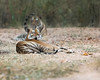 """This photograph of a two Bengal Tigers was captured in Bandhavgrah National Park, India (5/14). <FONT COLOR=""""RED""""><h5>This photograph is protected by the U.S. Copyright Laws and shall not to be downloaded or reproduced by any means without the formal written permission of Ken Conger Photography.<FONT COLOR=""""RED""""></h5>"""