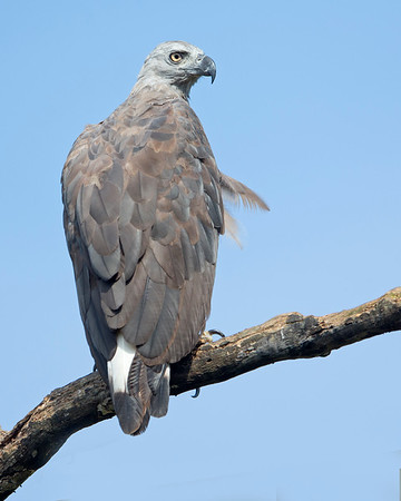 This photograph of a Grey-headed Fishing Eagle was captured within Yala National Park, Sri Lanka (4/13).   This photograph is protected by the U.S. Copyright Laws and shall not to be downloaded or reproduced by any means without the formal written permission of Ken Conger Photography.