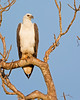 """This photograph of a White-bellied Fish Eagle was captured within Yala National Park, Sri Lanka (4/13).   <FONT COLOR=""""RED""""><h5>This photograph is protected by the U.S. Copyright Laws and shall not to be downloaded or reproduced by any means without the formal written permission of Ken Conger Photography.<FONT COLOR=""""RED""""></h5>"""