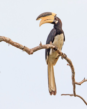 This photograph of a India Pied Hornbill was captured within Yala National Park, Sri Lanka (4/13).   This photograph is protected by the U.S. Copyright Laws and shall not to be downloaded or reproduced by any means without the formal written permission of Ken Conger Photography.