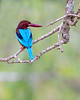"""This photograph of a White-throated Kingfisher was captured within Yala National Park, Sri Lanka (4/13).   <FONT COLOR=""""RED""""><h5>This photograph is protected by the U.S. Copyright Laws and shall not to be downloaded or reproduced by any means without the formal written permission of Ken Conger Photography.<FONT COLOR=""""RED""""></h5>"""