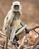 This photograph of an Indian Gray Langur or Black Faced Monkey was captured within Bandhavgarh National Park, India (4/13).   This photograph is protected by the U.S. Copyright Laws and shall not to be downloaded or reproduced by any means without the formal written permission of Ken Conger Photography.