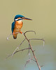 This photograph of a Common Kingfisher was captured within Yala National Park, Sri Lanka (4/13).   This photograph is protected by the U.S. Copyright Laws and shall not to be downloaded or reproduced by any means without the formal written permission of Ken Conger Photography.
