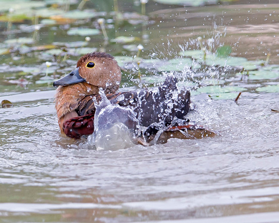 This photograph of a Lesser Whistling Duck was captured within Yala National Park, Sri Lanka (4/13).   This photograph is protected by the U.S. Copyright Laws and shall not to be downloaded or reproduced by any means without the formal written permission of Ken Conger Photography.