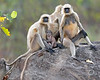 This photograph of group of an Indian Gray Langur or Black Faced Monkeys was captured within Bandhavgarh National Park, India (4/13).   This photograph is protected by the U.S. Copyright Laws and shall not to be downloaded or reproduced by any means without the formal written permission of Ken Conger Photography.