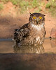 This photograph of a bathing Brown Fish Owl was captured within Yala National Park, Sri Lanka (4/13).   This photograph is protected by the U.S. Copyright Laws and shall not to be downloaded or reproduced by any means without the formal written permission of Ken Conger Photography.