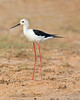 This photograph of a Black-winged Stilt was captured within Yala National Park, Sri Lanka (4/13).   This photograph is protected by the U.S. Copyright Laws and shall not to be downloaded or reproduced by any means without the formal written permission of Ken Conger Photography.