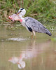 This photograph of a Grey Heron with a recently caught fish was captured within Yala National Park, Sri Lanka (4/13).   This photograph is protected by the U.S. Copyright Laws and shall not to be downloaded or reproduced by any means without the formal written permission of Ken Conger Photography.