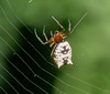 Arrow shaped Micrathena Spider
