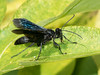 Great Black Wasp