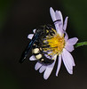 Bantailed Wasp on blue Aster