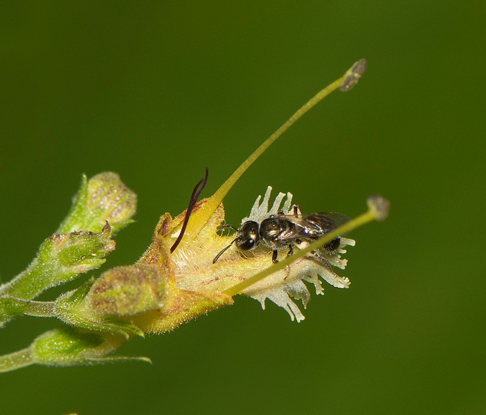 Bee on Northern Horse Balm