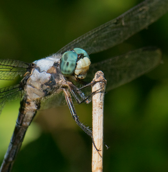 Green Dragonfly close up