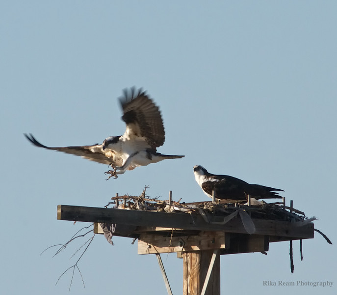 KY Osprey Nest, April 13th 1