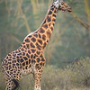 Rothschild Giraffe, Lake Nakuru National Park, Kenya