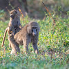 Baboon travel seat, Lake Nakuru National Park, Kenya