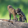 Young baboons playing, Lake Nakuru National Park, Kenya
