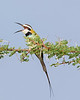 """This photograph of a White-throated Bee-eater was captured within Samburu National Reserve in Kenya, Africa (3/13).   <FONT COLOR=""""RED""""><h5>This photograph is protected by the U.S. Copyright Laws and shall not to be downloaded or reproduced by any means without the formal written permission of Ken Conger Photography.<FONT COLOR=""""RED""""></h5>"""