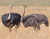 "This photograph of a pair of Ostriches was captured within  Maasai Mara National Park in Kenya, Africa (3/13).   <FONT COLOR=""RED""><h5>This photograph is protected by the U.S. Copyright Laws and shall not to be downloaded or reproduced by any means without the formal written permission of Ken Conger Photography.<FONT COLOR=""RED""></h5>"