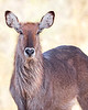 """This night photograph of a female Waterbuck was captured within Ol Pejeta Conservancy Park in Kenya, Africa (3/13).   <FONT COLOR=""""RED""""><h5>This photograph is protected by the U.S. Copyright Laws and shall not to be downloaded or reproduced by any means without the formal written permission of Ken Conger Photography.<FONT COLOR=""""RED""""></h5>"""
