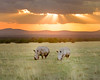 """This sunset photograph of two White Rhinos was captured within Ol Pejeta Conservancy Park in Kenya, Africa (3/13).   <FONT COLOR=""""RED""""><h5>This photograph is protected by the U.S. Copyright Laws and shall not to be downloaded or reproduced by any means without the formal written permission of Ken Conger Photography.<FONT COLOR=""""RED""""></h5>"""