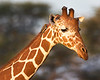 """This photograph of Reticulated Giraffe was captured within Samburu National Reserve in Kenya, Africa (3/13).   <FONT COLOR=""""RED""""><h5>This photograph is protected by the U.S. Copyright Laws and shall not to be downloaded or reproduced by any means without the formal written permission of Ken Conger Photography.<FONT COLOR=""""RED""""></h5>"""