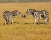 This photograph of a pair of Zebras displaying intimate behavior was captured within Amobseli National Park in Kenya, Africa (3/13).   This photograph is protected by the U.S. Copyright Laws and shall not to be downloaded or reproduced by any means without the formal written permission of Ken Conger Photography.