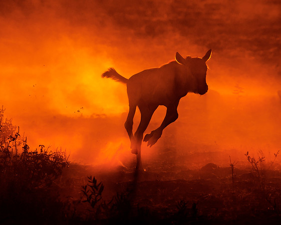 This dusty sunrise photograph of an young Wildebeest doing a morning run was captured within Amboseli National Park in Kenya, Africa (3/13).   This photograph is protected by the U.S. Copyright Laws and shall not to be downloaded or reproduced by any means without the formal written permission of Ken Conger Photography.