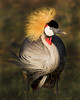 This photograph of a Crested Crane was captured within Lake Nakuru National Park in Kenya, Africa (3/13).   This photograph is protected by the U.S. Copyright Laws and shall not to be downloaded or reproduced by any means without the formal written permission of Ken Conger Photography.