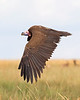 This photograph of a flying Nubian or Lappet-faced Vulture was captured within the Masai Mara in Kenya, Africa (6/13).   This photograph is protected by the U.S. Copyright Laws and shall not to be downloaded or reproduced by any means without the formal written permission of Ken Conger Photography.