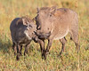 This photograph of an intimate moment between a Wart Hog mother and piglet was captured within the Maasai Mara in Kenya, Africa (3/13).   This photograph is protected by the U.S. Copyright Laws and shall not to be downloaded or reproduced by any means without the formal written permission of Ken Conger Photography.