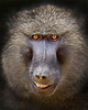 This photograph of a Baboon was captured within the Masai Mara in Kenya, Africa (6/13).   This photograph is protected by the U.S. Copyright Laws and shall not to be downloaded or reproduced by any means without the formal written permission of Ken Conger Photography.