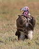 This photograph of a Nubian or Lappet-faced Vulture was captured within the Masai Mara in Kenya, Africa (6/13).   This photograph is protected by the U.S. Copyright Laws and shall not to be downloaded or reproduced by any means without the formal written permission of Ken Conger Photography.