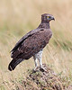 """This photograph of a perched Martial Eagle was captured within the Masai Mara in Kenya, Africa (6/13).   <FONT COLOR=""""RED""""><h5>This photograph is protected by the U.S. Copyright Laws and shall not to be downloaded or reproduced by any means without the formal written permission of Ken Conger Photography.<FONT COLOR=""""RED""""></h5>"""