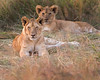 This photograph of a pair of Lion cubs was captured within the Masai Mara in Kenya, Africa (6/13).   This photograph is protected by the U.S. Copyright Laws and shall not to be downloaded or reproduced by any means without the formal written permission of Ken Conger Photography.
