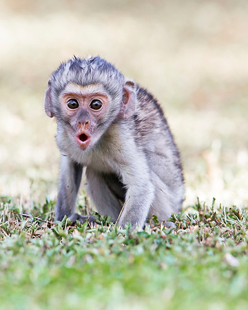This photograph of a Black Faced Vervet Monkey was captured within Lake Nakuru National Park in Kenya, Africa (3/13).   This photograph is protected by the U.S. Copyright Laws and shall not to be downloaded or reproduced by any means without the formal written permission of Ken Conger Photography.