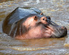 This photograph of a Hippo was captured within the Maasai Mara in Kenya, Africa (3/13).   This photograph is protected by the U.S. Copyright Laws and shall not to be downloaded or reproduced by any means without the formal written permission of Ken Conger Photography.