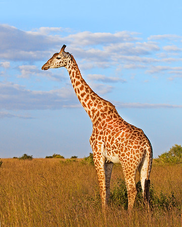 This photograph of a Masai Giraffe was captured within the Masai Mara in Kenya, Africa (6/13).   This photograph is protected by the U.S. Copyright Laws and shall not to be downloaded or reproduced by any means without the formal written permission of Ken Conger Photography.